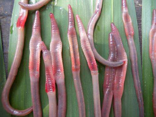 Thailand: Astonishing 10 new species of semi-aquatic freshwater earthworms revealed