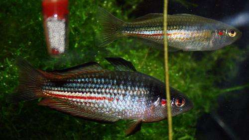 The nose knows: Rainbowfish embryos 'sniff out' predators