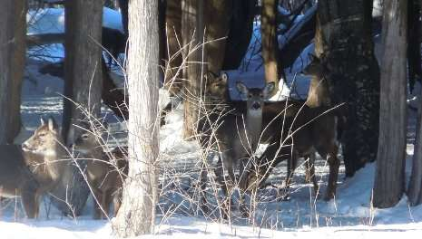 The science of yellow snow: White-tailed deer may be ruining their own winter havens