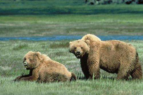 This undated handout photo received November 15, 2005, from the US Fish and Wildlife Service shows two Grizzly bears
