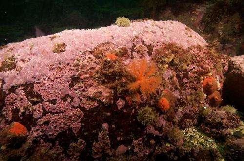 Underwater 'tree rings': Calcite crusts of arctic algae record 650 years of sea ice change
