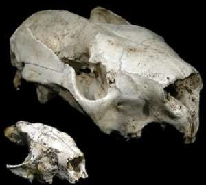 20 million year-old koala named after Dick Smith