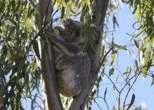 The koala: Living life on the edge
