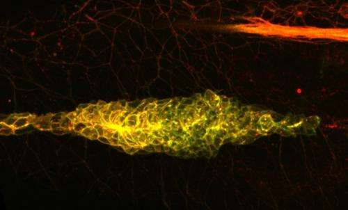 Without a trace: Cells keep to one direction by erasing the path