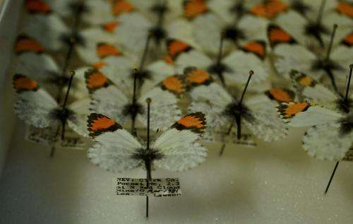 Climate change may disrupt butterfly flight seasons