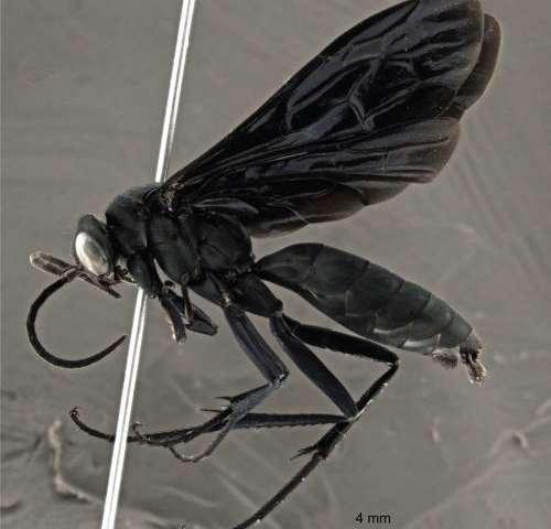 2 new beautiful wasp species of the rare genus Abernessia