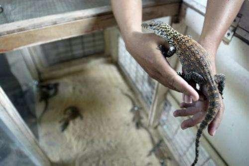 An Indonesian vet holds a baby Komodo dragon at Surabaya Zoo on March 14, 2013