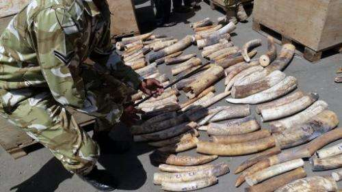 Kenya Wildlife Service rangers supervise the counting of the ivory tusks at Mombasa Port on August 21, 2013