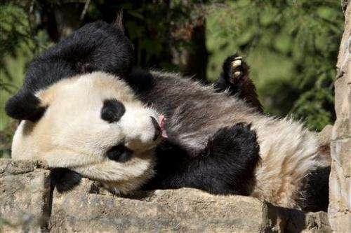 US panda cub described as healthy and vibrant