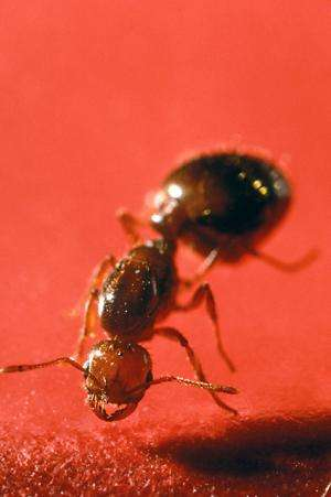Researchers study fire ant venom as natural fungicide