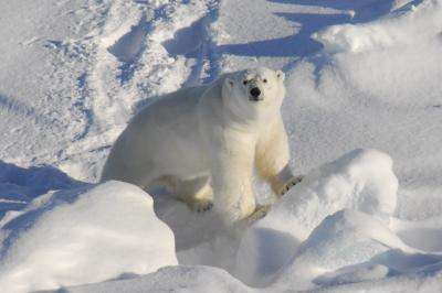 Environmental toxins enter the brain tissue of polar bears