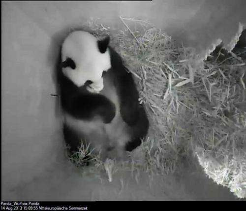 This handout photo shows a new born panda on August 14, 2013 at the Schoenbrunn zoo in Vienna