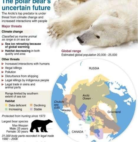 Graphic fact file on polar bears