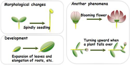 Researchers examine mechanism determining plant height and leaf and seed size