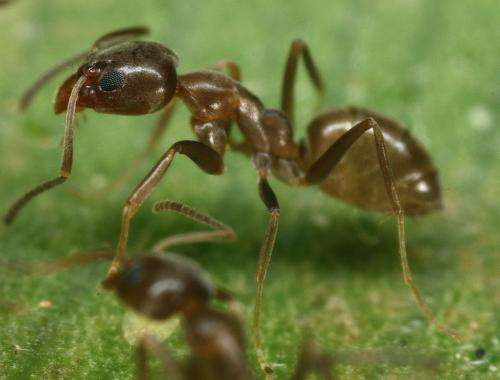Researchers find Asian needle ants displacing other aggressive invaders