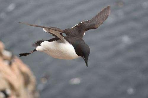 New evidence suggests some birds gave up flight to become better swimmers