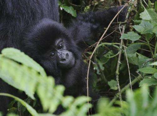 This photo take on June 17, 2012, shows an infant mountain gorillas at the Virunga National Park