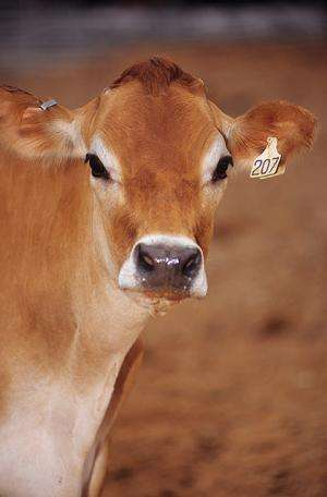 Researchers develop strategies to stop tuberculosis infections in cattle