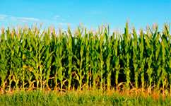 Climate change threatens corn crops