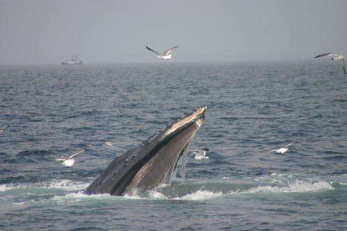 Research reveals bottom feeding techniques of tagged humpback whales in Stellwagen Bank Sanctuary