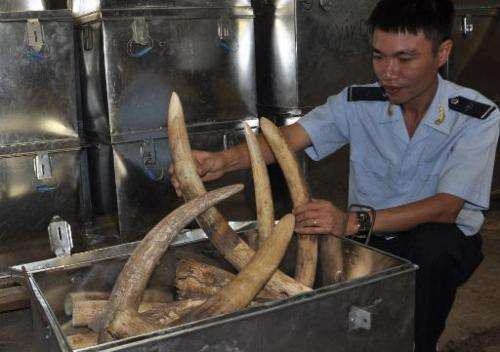 This handout picture taken by Haiquanonline on October 8, 2013 shows a customs officer inspecting seized elephant tusks smuggled