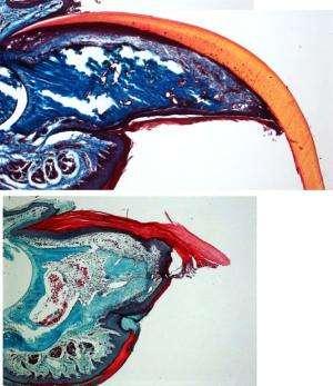 Fingernails reveal clues to limb regeneration