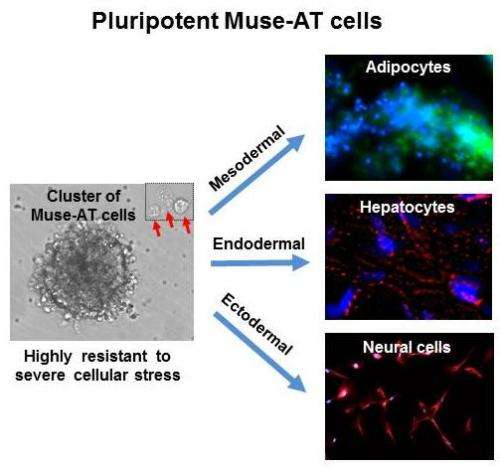 UCLA scientists isolate new population of pluripotent stem cells in fat removed during liposuction