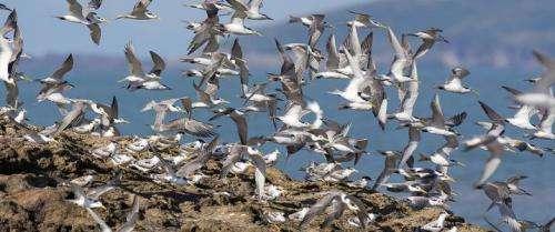 Researchers helping China's rarest seabird rebound from near-extinction