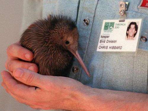 Illustration: eight endangered kiwis have died from respiratory infections at a New Zealand zoo in what has been described as a