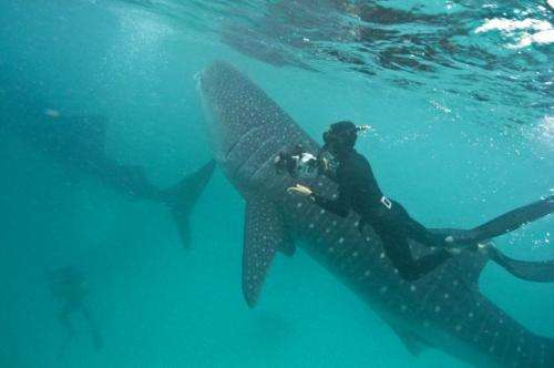 Scientists using holiday snaps to identify whale sharks