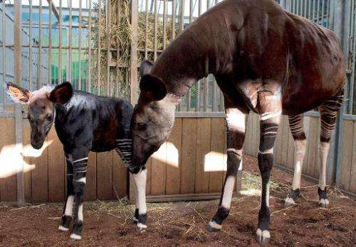 A baby okapi named 'Mbuti' (L) stands on July 12, 2013 with its mother 'Kamina' at the Beauval zoo in Saint-Aignan, central Fran