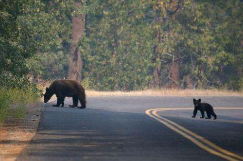A bear and cub cross a road near the Rim Fire on August 24, 2013 in Yosemite National Park, California