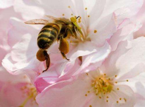 A bee collects pollen from a flowering cherry on April 22, 2013 in Potsdam, eastern Germany