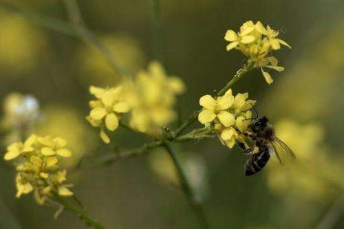 A bee feeding from a wild flower on April 2, 2013