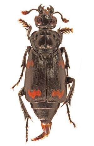 A bit of good luck: A new species of burying beetle from the Solomon Islands Archipelago