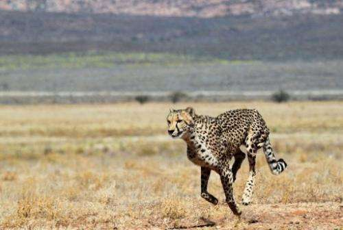 A cheetah pictured on March 22, 2013 at a private game reserve in South Africa