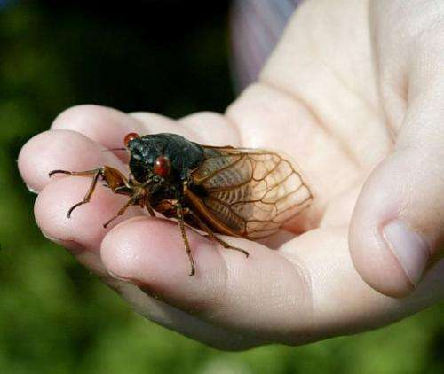 A child holds up a cicada in Alexandria, Virginia on May 14, 2004