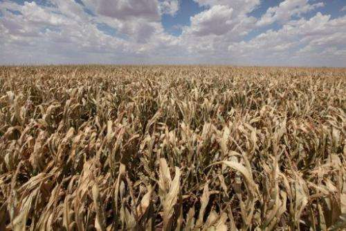 A corn crop dries up in a field pictured July 28, 2011 near Perryton, Texas