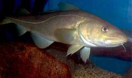 Acoustic monitoring of Atlantic cod reveals clues to spawning behavior