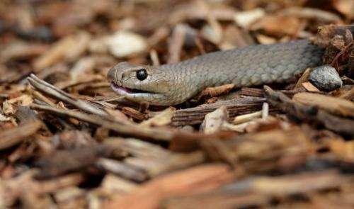 A deadly Australian eastern brown snake is photographed in Sydney, Australia on September 25, 2012