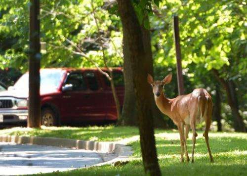 A deer is seen at a parking lot in Rock Creek Park in Washington, DC on July 26, 2013