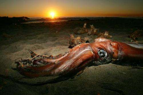 A giant squid lies on the beach after it washed ashore January 19, 2005 in Newport Beach, California