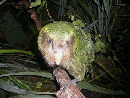 A green kakapo on Codfish Island, off the South Island, on June 20, 2012