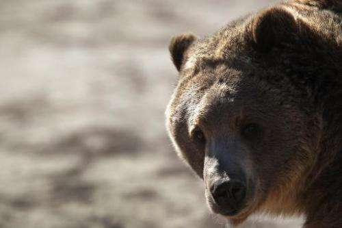 A grizzly bear waits to be fed at The Wild Animal Sanctuary on October 20, 2011 in Keenesburg, Colorado