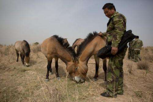 A keeper feeds Przewalski's horses at the West Lake national nature reserve in northwestern China, on May 13, 2013