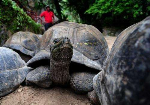 Aldabra giant tortoises are pictured at a botanic garden in Mahe, Seychelles on March 5, 2012