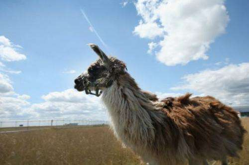 A llama grazes on a plot of land at O'Hare Airport in Chicago on August 13, 2013