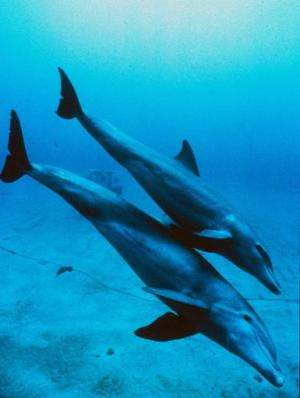A mother and juvenile bottlenose dolphin