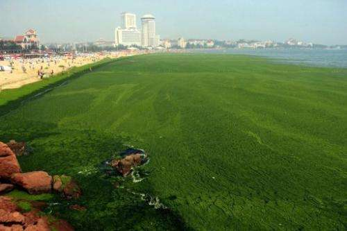 An algae covered public beach in Qingdao, northeast Shandong province, on July 4, 2013