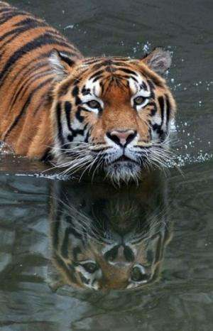 An Amur tiger bathes in a pool at the Kiev Zoo in the Ukrainian capital on September 17, 2010